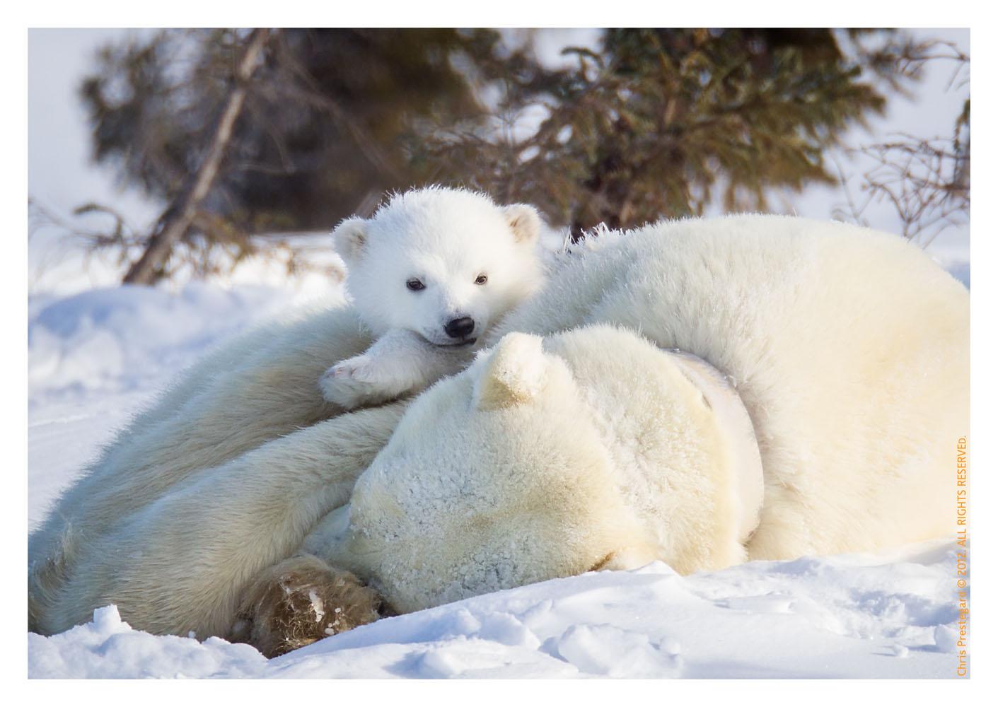 PolarBear4996_May19-2012