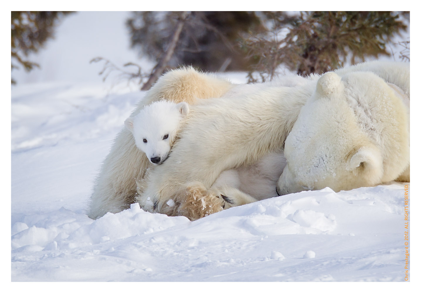 PolarBear5097-May19-2012