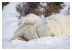 PolarBear5148_May18-2012
