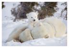PolarBear5158-May16_2012