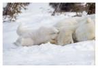 PolarBear5198-May16_2012