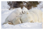 PolarBear5238_May19-2012