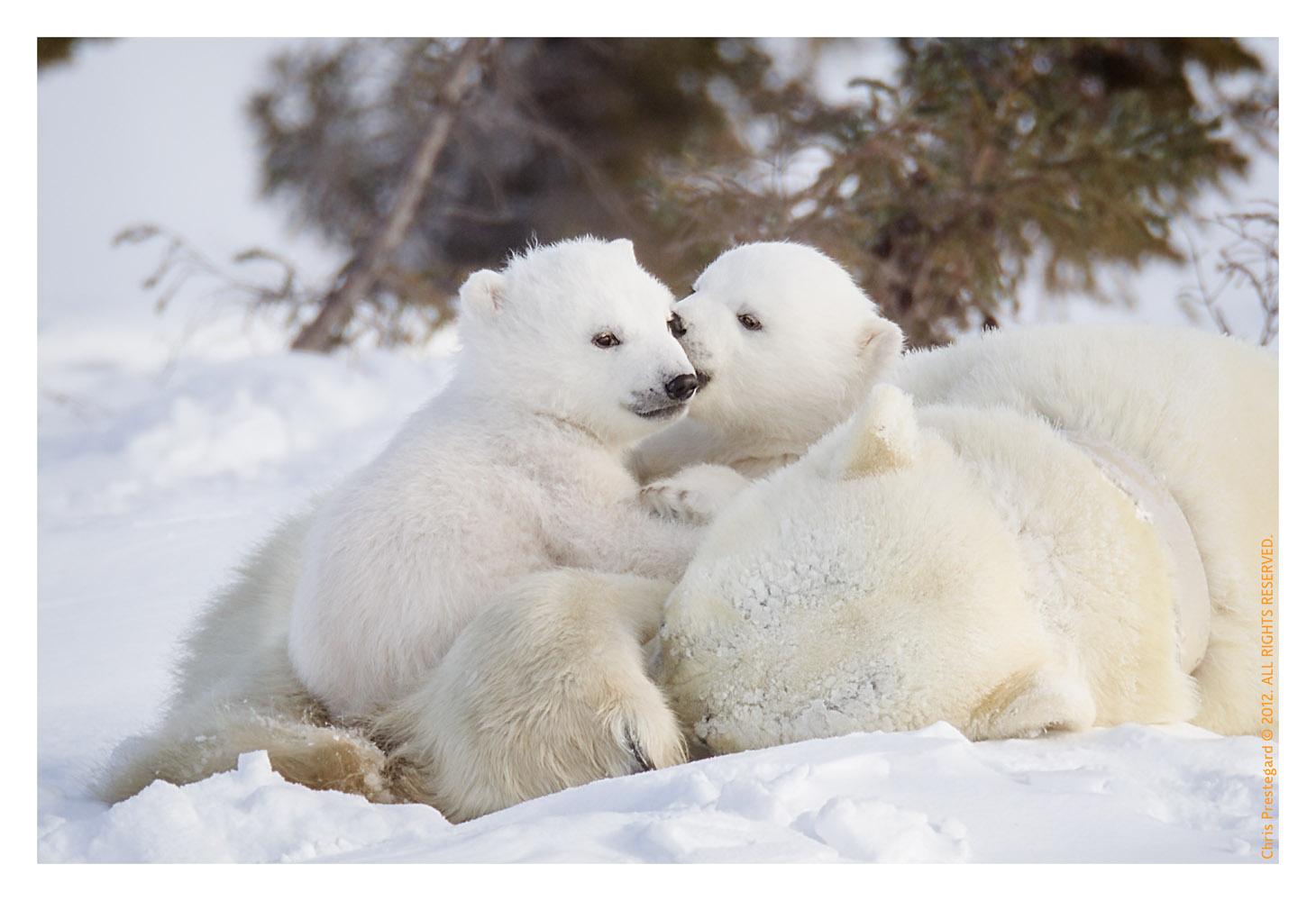 PolarBear5250-May29-2012