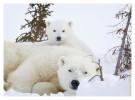 PolarBear5372B_Apr22-2011