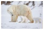 PolarBear5407_May16_2012