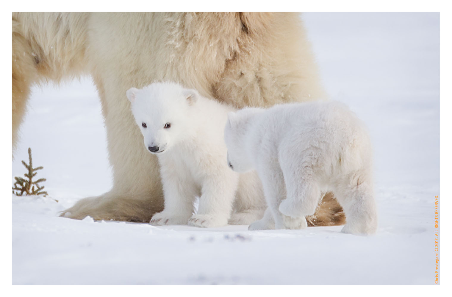PolarBear5410_May16_2012