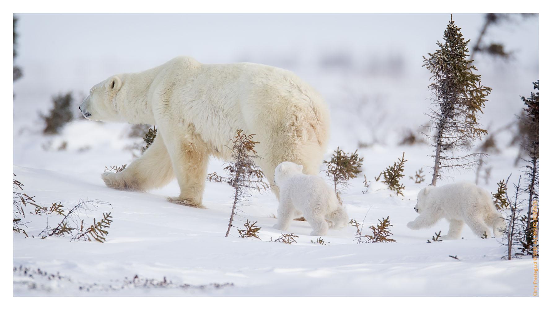 PolarBear5454_May16_2012
