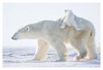 PolarBear5509C_Apr25-2011