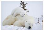 PolarBear5586B_Apr22-2011