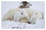 PolarBear5621B_Apr22-2011