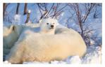 PolarBear5728-May17-2012