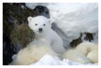 PolarBear5897B_Apr22-2011