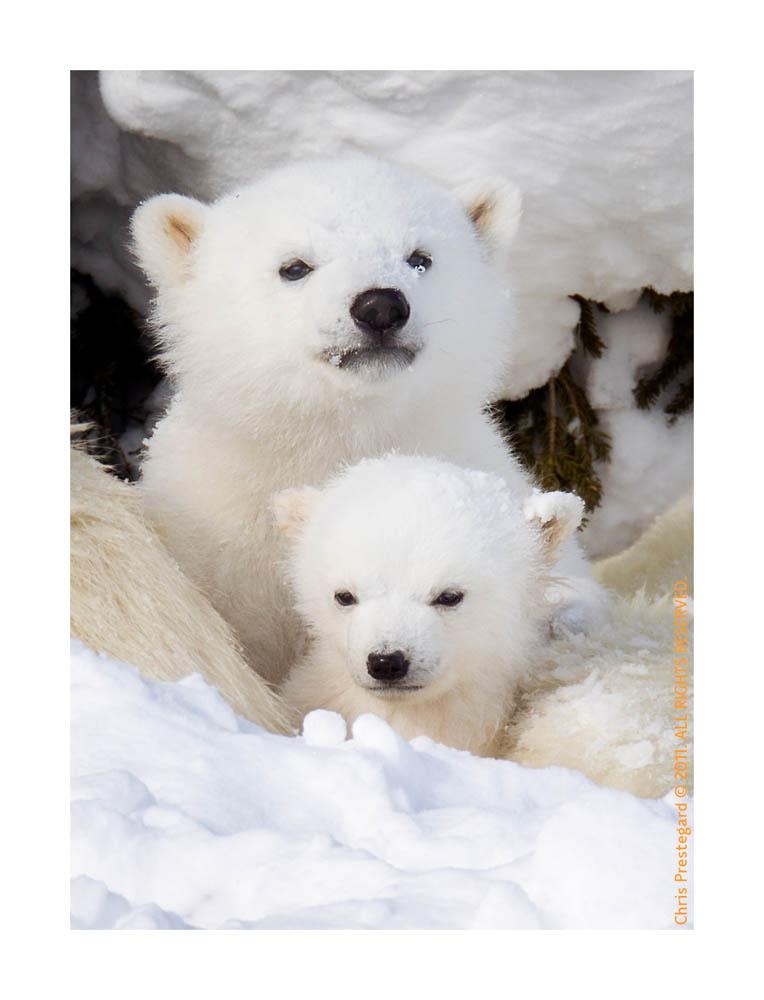 PolarBear5954C_Apr22-2011