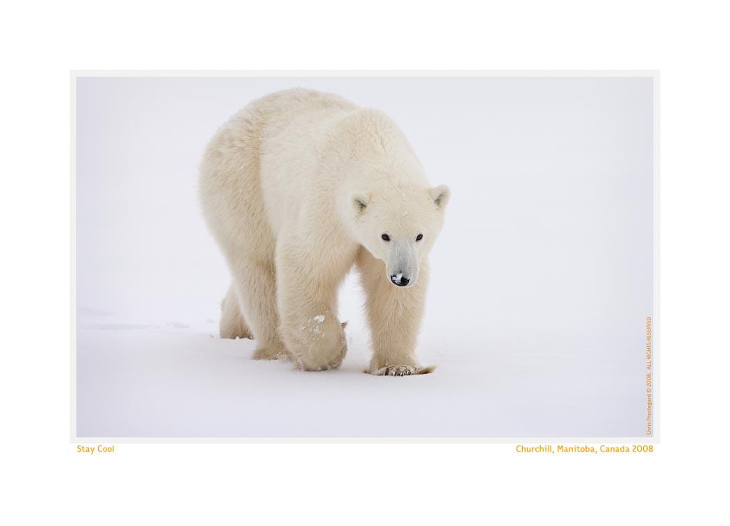 PolarBear6110Cool_Nov22-08