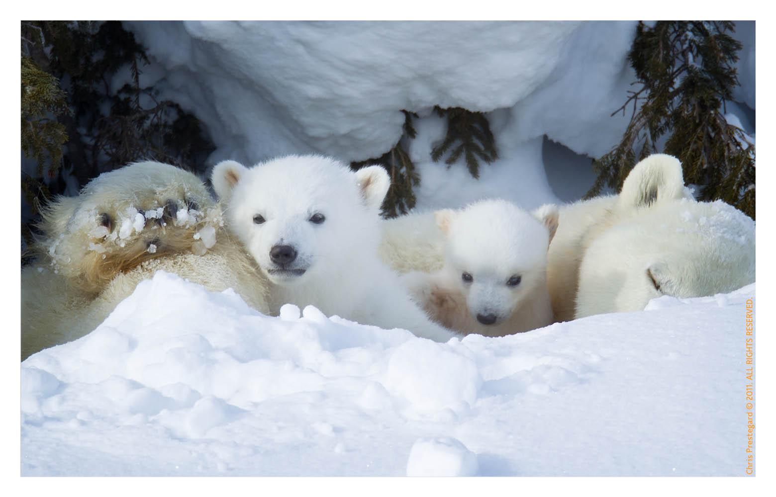 PolarBear6173E_Apr22-2011