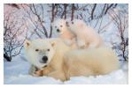 PolarBear6243-May17-2012