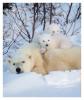 PolarBear6292_May18-2012