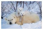 PolarBear6336-May17-2012