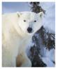 PolarBear6801C_Apr22-2011