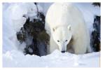 PolarBear6805C_Apr22-2011