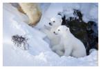 PolarBear6827C_Apr22-2011