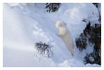 PolarBear6840E_Apr22-2011