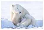 PolarBear6880_Apr24-2011