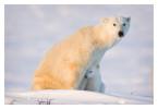 PolarBear7104_May22-2012