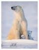 PolarBear7130-May16_2012
