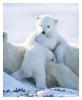 PolarBear7485_Apr24-2011