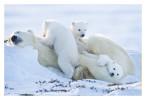 PolarBear7714_Apr26-2011