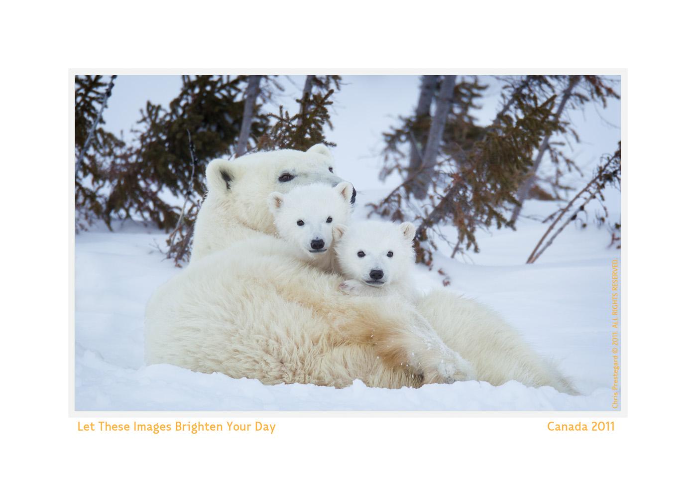 PolarBear8205-Oct16-2013