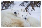 PolarBear8364C_Apr22-2011