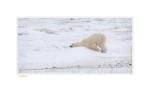 PolarBearBoring7191b_Nov24-08