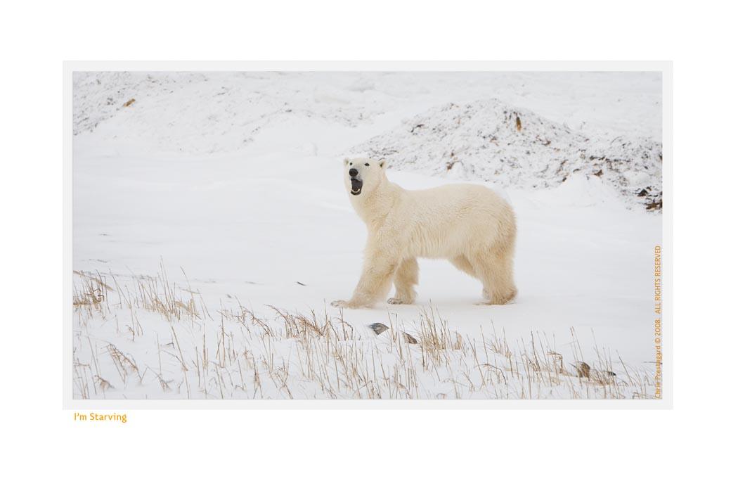 PolarBearCalling5278b_Nov25-08