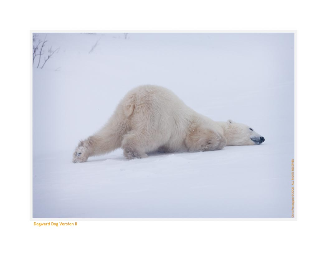 PolarBearDog7806_Nov24-08