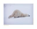 PolarBearDog7806_Nov24-08