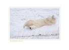 PolarBearRolling7210b_Nov25-08
