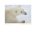 PolarBearSave5116b_Feb17-09