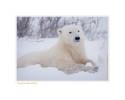 PolarBearSit7710_Nov24-08