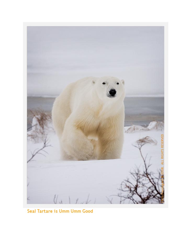 PolarBearStep7537b_Dec16-08