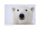 PolarBearTartar5182b_Dec16-08