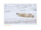 PolarBearWait7152_Nov24-08