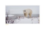 PolarBearWhere7510b_Dec16-08