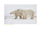 PolarBearsSingle6792b_Nov25-08