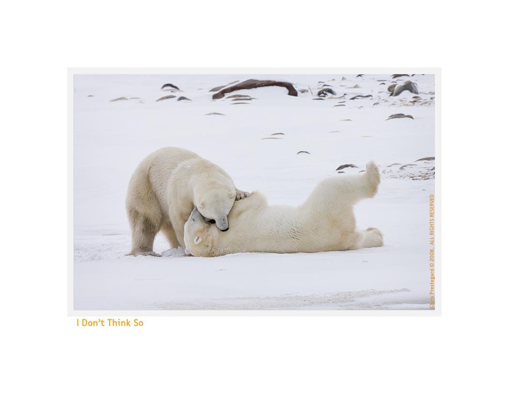 PolarBearsThink6860_Nov24-08
