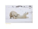 PolarBearsThink6860_Nov24-08