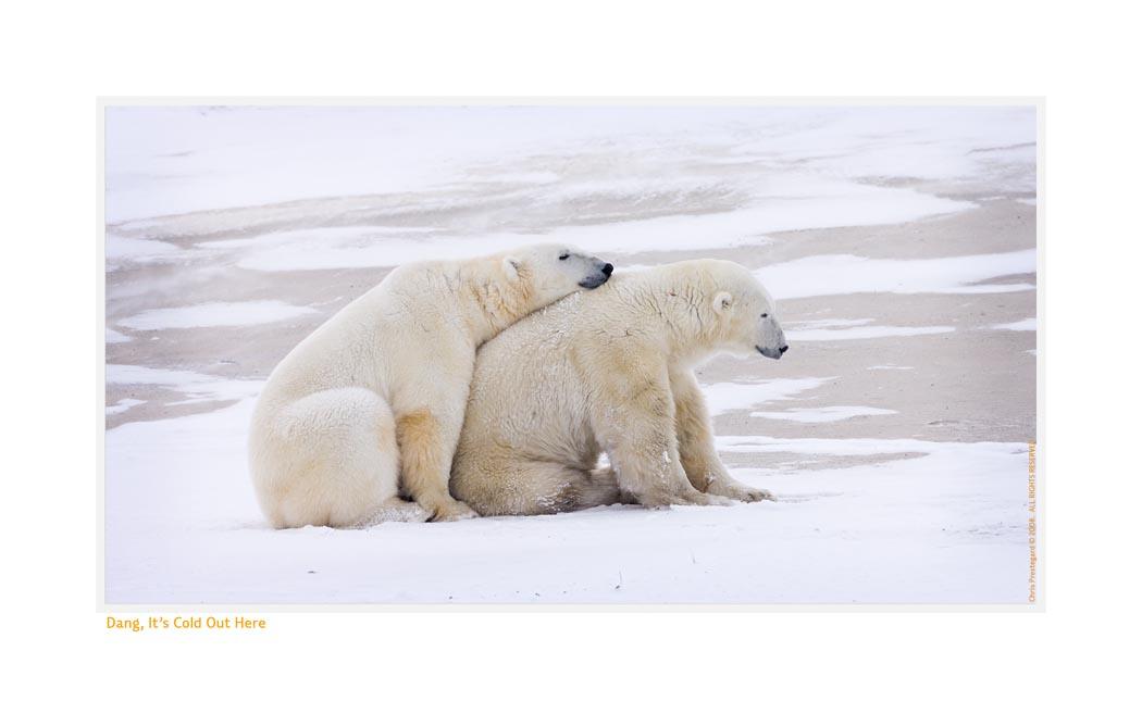 PolarBearsWarm6573_Nov24-08