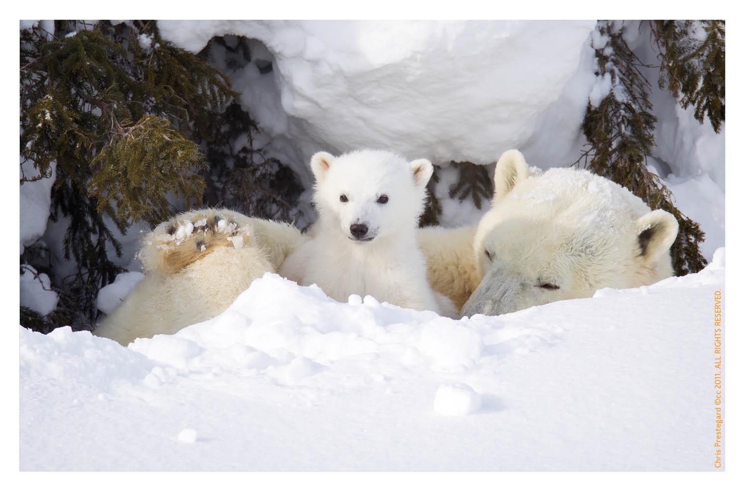 Polarbear6155C_Apr22-2011
