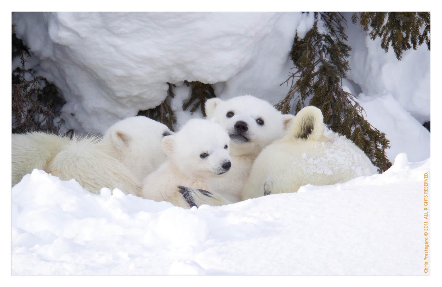 Polarbear6462C_Apr22-2011